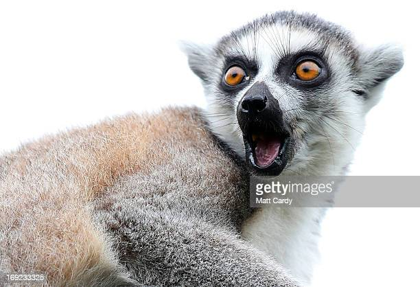 A ringtailed lemur waits to be fed in its enclosure at Bristol Zoo Gardens on May 22 2013 in Bristol England A twoweek old lemur called Rascal is one...