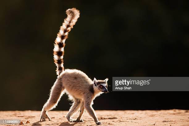Ring-tailed Lemur walking - backlit.