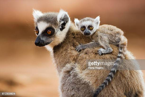 ring-tailed lemur with infant (less than one month old) riding on back - portrait - lemur stock pictures, royalty-free photos & images