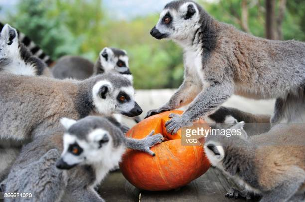 Ringtailed lemurs eat fruit and nuts inside a special carved pumpkin before Halloween at Qingdao Forest Wildlife World on October 26 2017 in Qingdao...