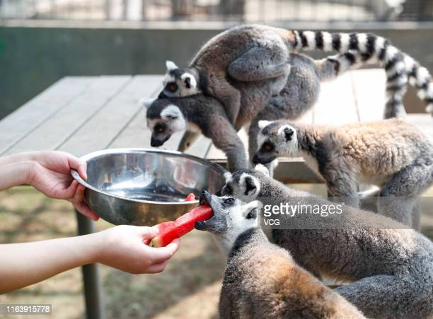 Ringtailed lemurs eat watermelon at a zoo on July 23 2019 in Huaian Jiangsu Province of China Dashu is the 12th solar term of Chinese lunar calendar...