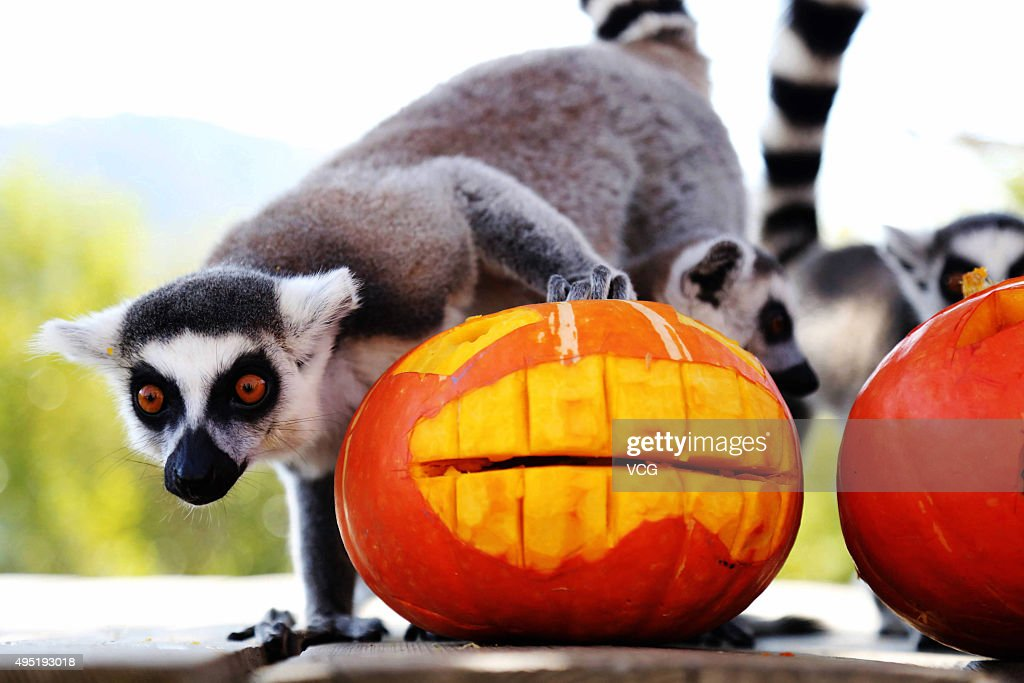 Animals Enjoy Pumpkins On Halloween Photos and Images | Getty Images