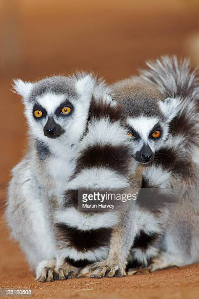ring-tailed lemurs, lemur catta. group huddled together to keep warm. eat mainly fruit but will also eat leaves, seeds and the odd insect. habitat consists of deciduous forests with grass floors or forests along rivers. endangered. southern madagascar - lemur stock pictures, royalty-free photos & images