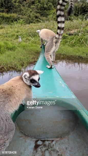 Ring-Tailed Lemurs on Canoe