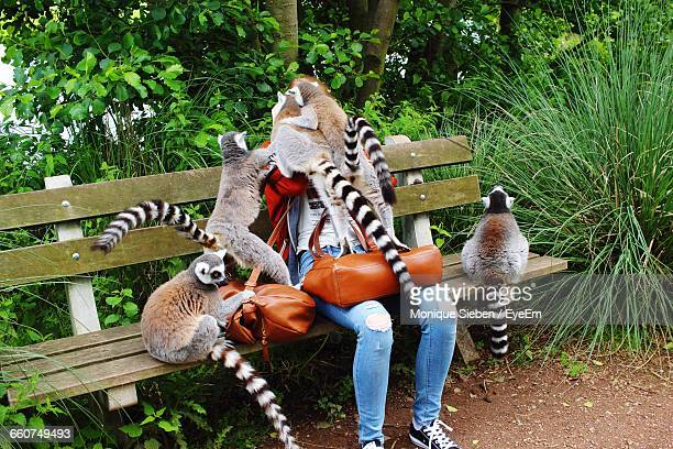 ring-tailed lemurs on person sitting over bench - lemur stock photos and pictures