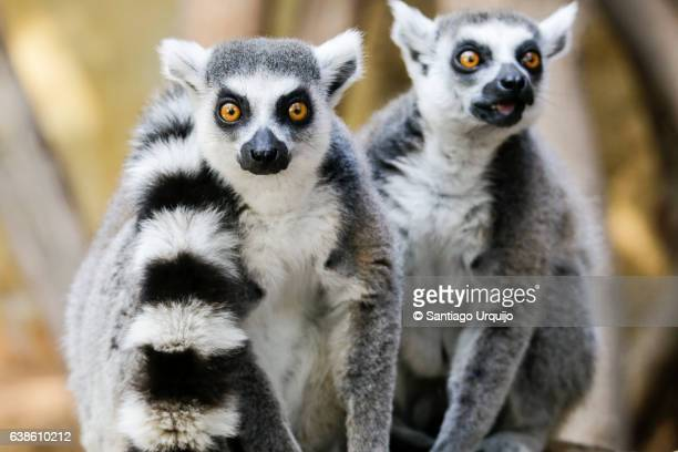 ring-tailed lemurs - lemur stock pictures, royalty-free photos & images