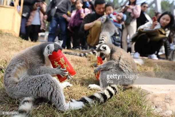 Ringtailed lemurs play with red packages filled with food at a wildlife park on the first day of Spring Festival on February 16 2018 in Chongqing...