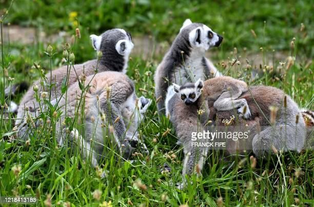 Ringtailed lemurs sit in their enclosure at the Paris Zoological Park in the Vincennes woods in Paris on June 8 on the zoo's reopening day as France...