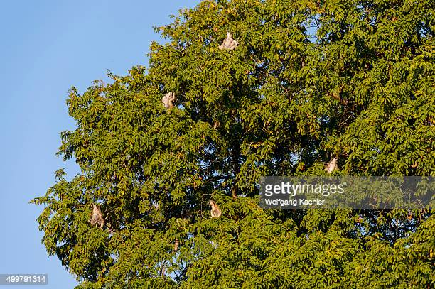 Ringtailed lemurs sitting in morning sunshine in Tamarind tree sun bathing to warm up at Berenty Reserve in southern Madagascar