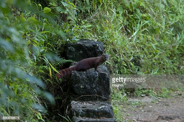 RingTailed Mongoose In Ranomafana National Park Fianarantsoa Province Madagascar