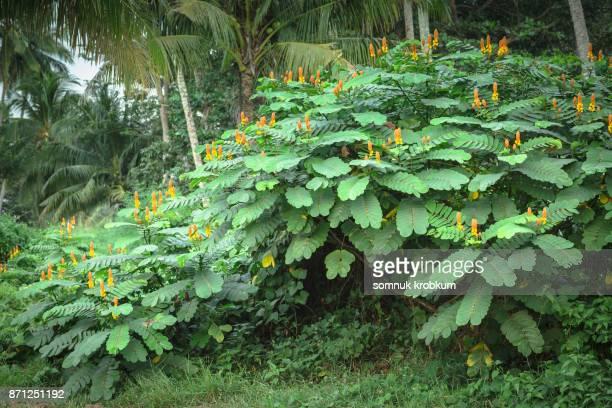 Ringworm bush flower in rainy season