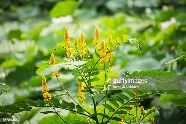 ringworm bush flower - hautpilz stock-fotos und bilder