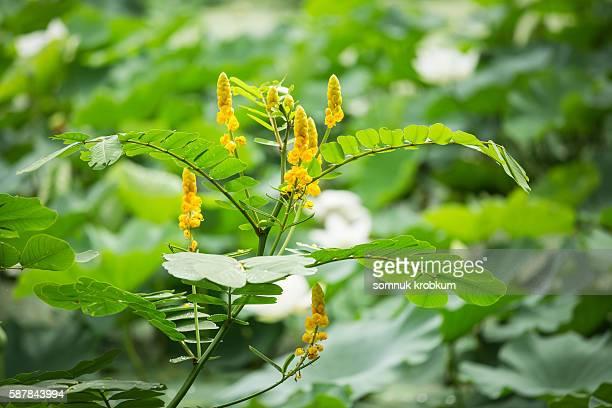 ringworm bush flower - krentenbaard stockfoto's en -beelden