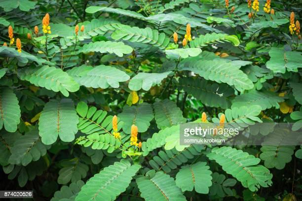 Ringworm bush flower