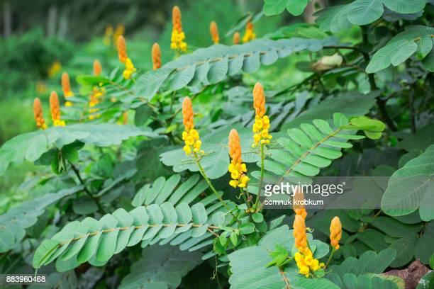 Ringworm bush flower plant
