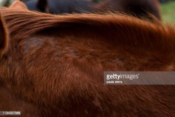 ringworm (dermatomycosis) in a horse - hautpilz stock-fotos und bilder