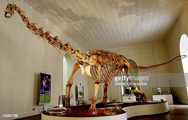 A replica of a Maxakalisaurus topai dinosaur skeleton is seen 28 August 2006 at the National Museum in Rio de Janeiro Brazil Bones of two...