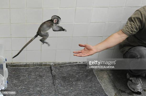 Rio's zoo veterinarian Alex Spadetti plays with 'Lequinho' a twomonthold 'green monkey' a species originary from South Africa in Rio de Janeiro...