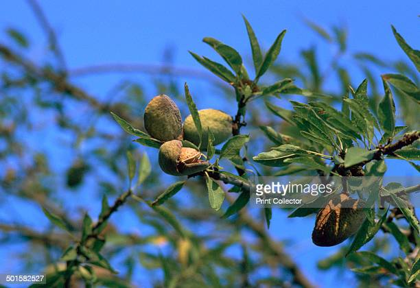Ripe almonds in Sicily in August