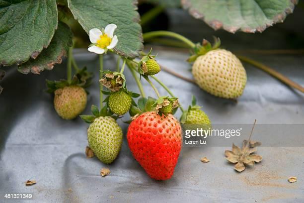 Ripe and semi mature strawberries