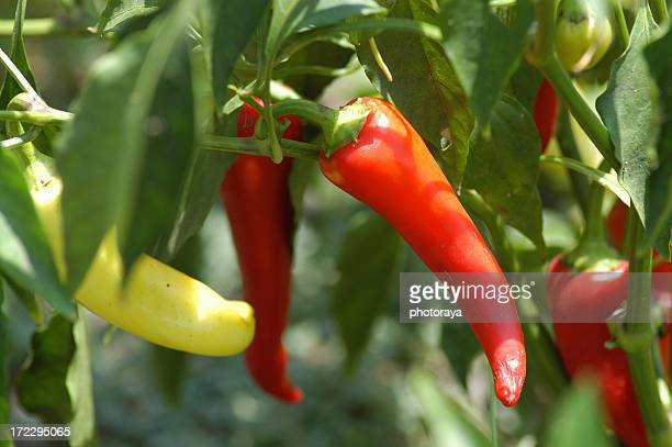 Ripe and unripe chili peppers growing
