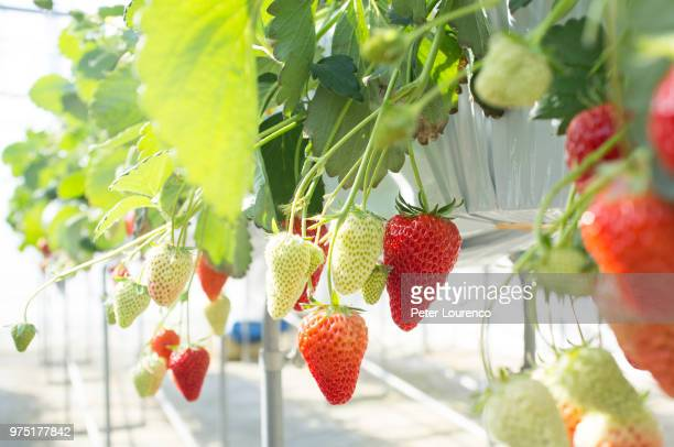 Ripe and unripe strawberries hanging on shrub