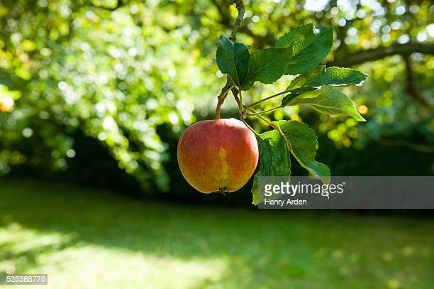 Ripe apple on tree in fruit orchard