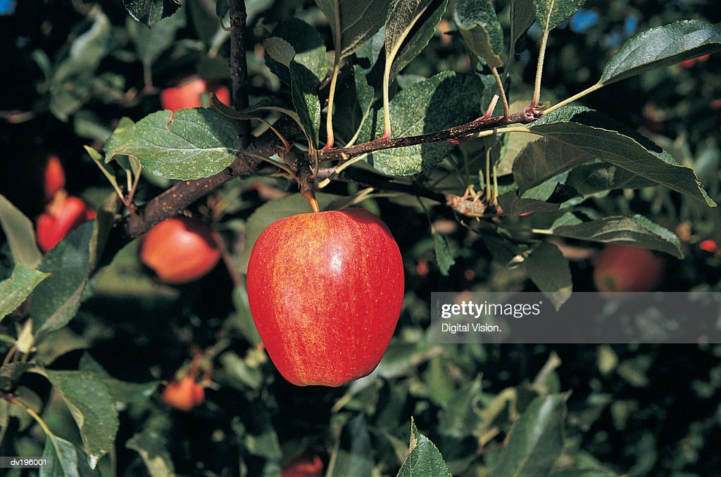 Ripe apple on tree : Stock Photo