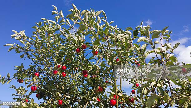 Ripe apple tree with delicious fruits on late summer day.