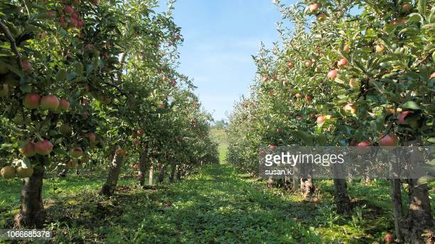 ripe apples at the orchard on the warm autumn afternoon. - appelboom stockfoto's en -beelden