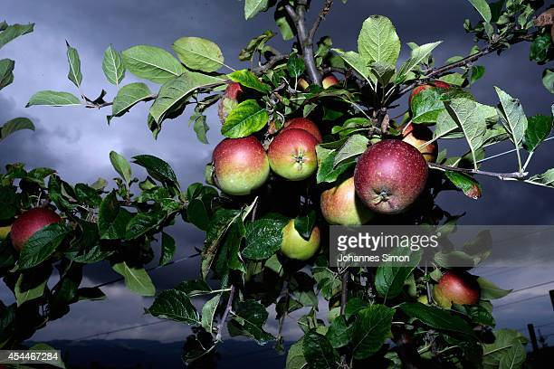 Ripe apples hang on a tree during the annual harvest season on the Obstbau Willhalm farm near Bodensee Lake on September 1 2014 near Lindau Germany...