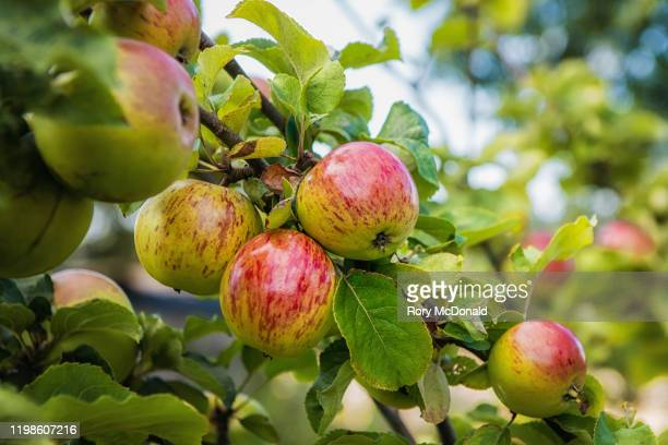 ripe apples on apple tree in an orchard - apple tree stock pictures, royalty-free photos & images