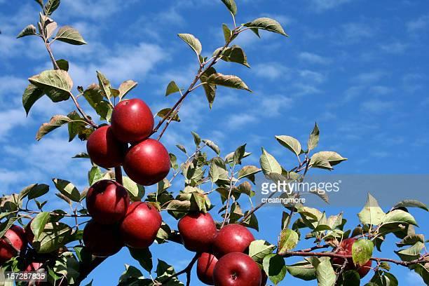 ripe apples - appelboom stockfoto's en -beelden