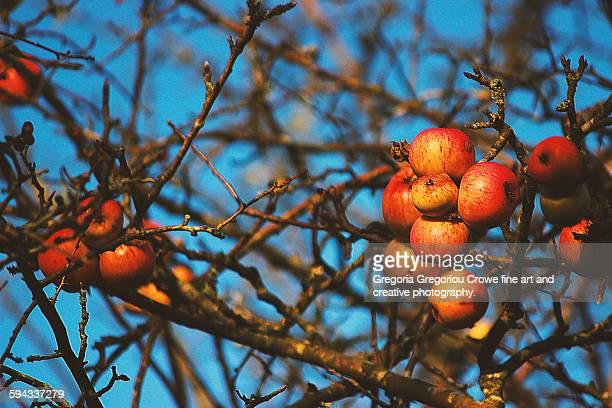 ripe apples - gregoria gregoriou crowe fine art and creative photography - fotografias e filmes do acervo
