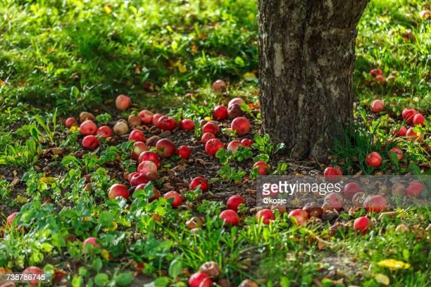 Ripe apples under a tree, Stockholm, Sweden