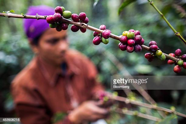 Ripe arabica coffee berries grow at a coffee plantation in Madapura Karnataka India on Tuesday Dec 3 2013 Strong monsoon rainfall in India will cut...