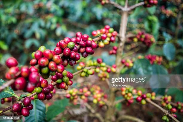 Ripe arabica coffee berries grow at a coffee plantation in Madapura Karnataka India on Tuesday Dec 3 2013 Strong monsoon rainfall in India will cut...