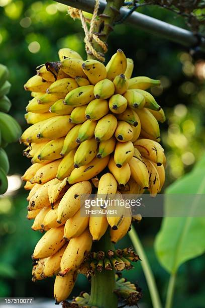 ripe banana bunch - banana tree stock pictures, royalty-free photos & images