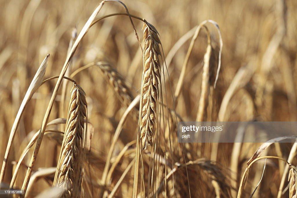 Ripe barley crop : Stock Photo