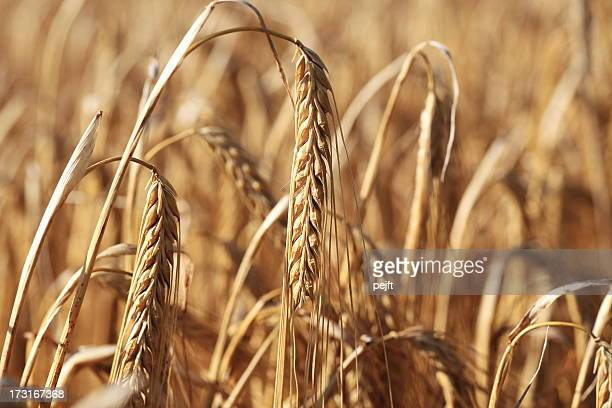 ripe barley crop - pejft stock pictures, royalty-free photos & images