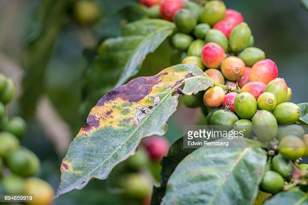 ripe beans and rust - pathogen stock photos and pictures