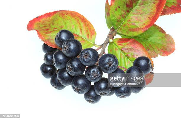 Ripe berry of Aronia melanocarpa black chokeberry medicinal plant and food