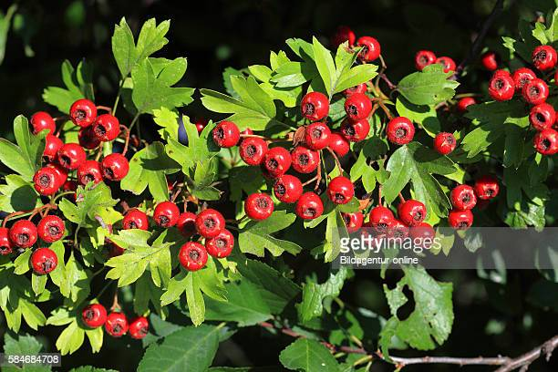 Ripe berry of Crataegus commonly called hawthorn thornapple Maytree whitethorn or hawberry medicinal plant and food