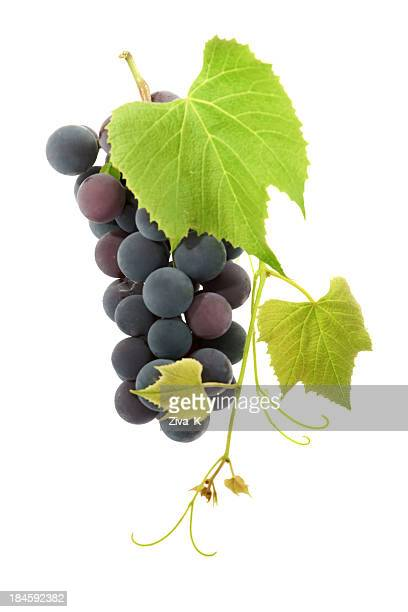 Ripe black grapes growing on a vine