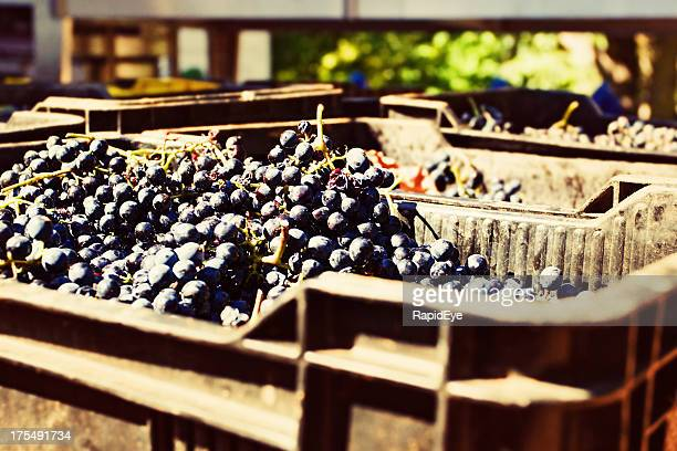 À maturité noir raisin vignoble vous attendent dans des cages de repassage
