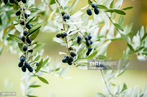 枝で熟したブラック オリーブ