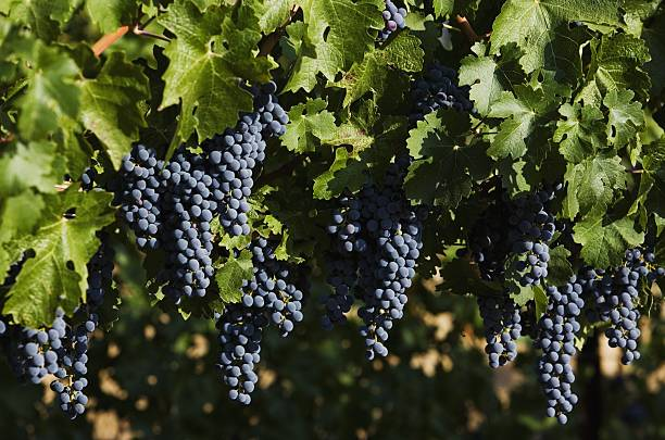 California's 2007 Grape Harvest Begins
