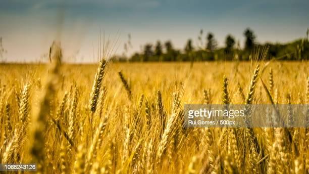 ripe cereal field - bourges imagens e fotografias de stock