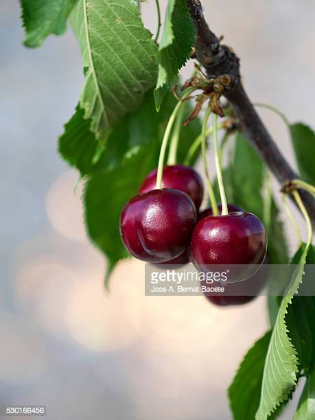 Ripe cherries hanging from a cherry tree branch