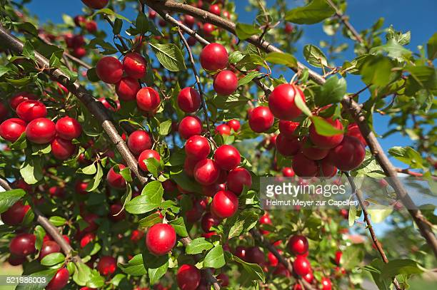 Myrobalan Plum Stock Pictures Royalty Free Photos Images